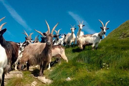 Gregge in Alpeggio in-Alta-Val-Gerola