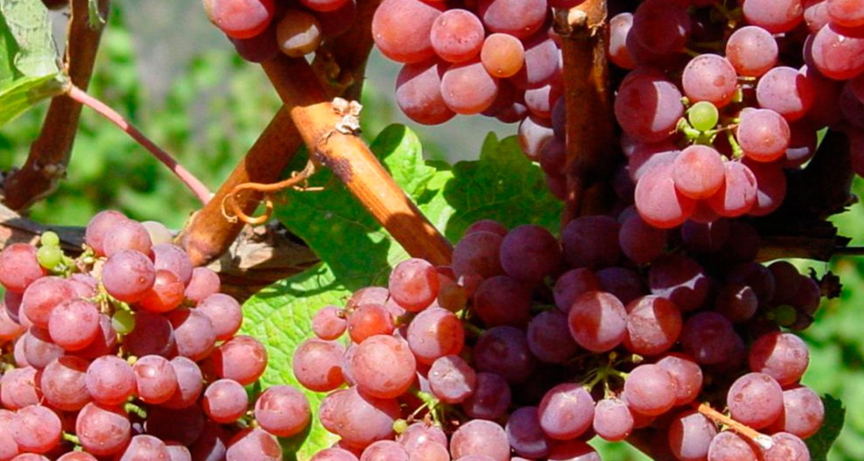 Museo delle viti Lieselehof a Caldaro