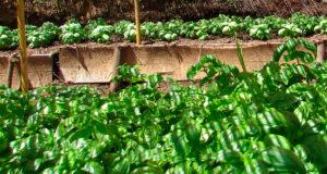 Pesto-ligure