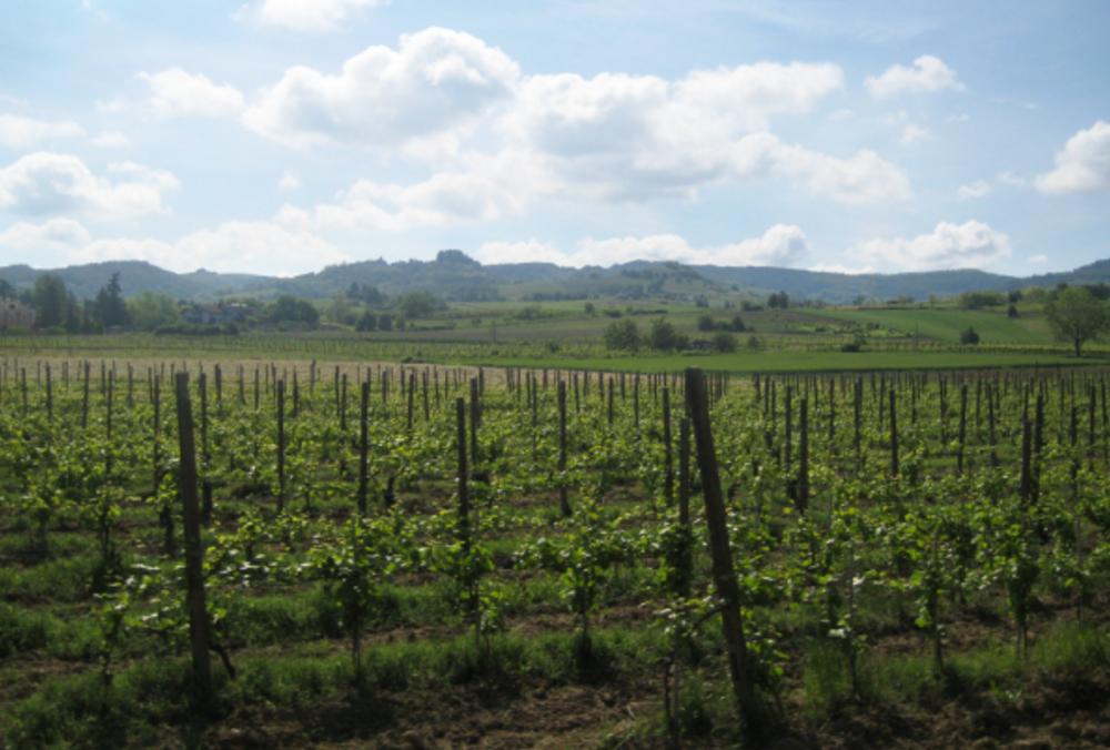 Oltrepò pavese vigne