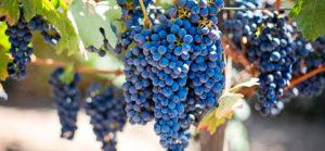 vitigni-campania
