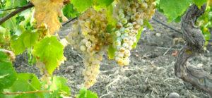 vitigni-sicilia
