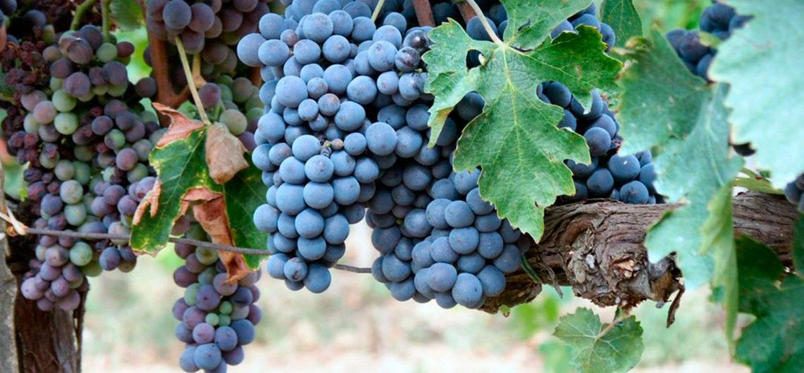 vitigni-toscana