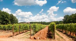 Gavi scorcio sulle vigne
