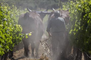 Il lavoro in vigna autoctoni sardi a Serdiana