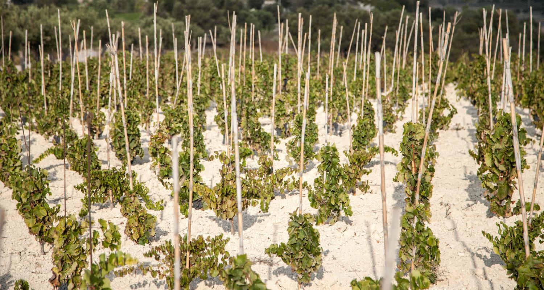 Dettaglio-vigne-Marabino-Sicilia