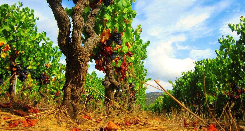 Filari-di-Cannonau-Sedilesu