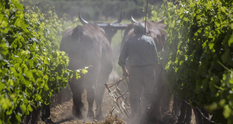 Il-lavoro-in-vigna-in-Sardegna-vitigni-autoctoni-sardi