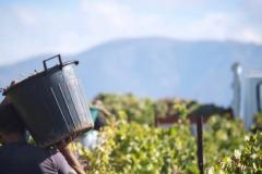 Officine-Turistiche-il-lavoro-in-vigna-in-Sardegna